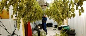 Cannabis trocknen