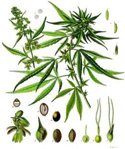 Hanf seeds