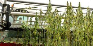 cannabis ernte